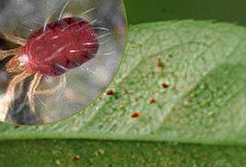 Фото паутинного клеща на комнатных цветах 165