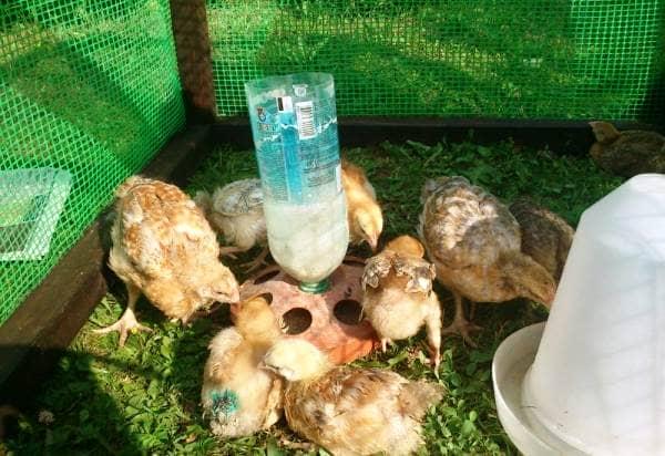 Выращивание и уход за цыплятами бройлерами в  112