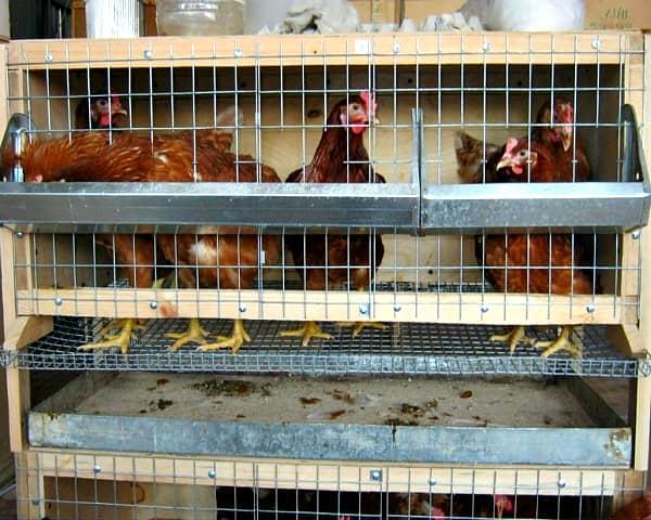 Клетки для выращивания куриц 215