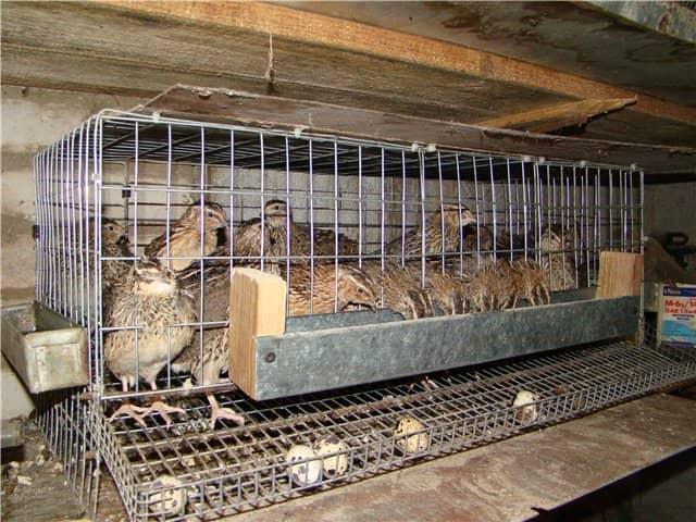 Выращивание куропаток в домашних условиях с нуля 56