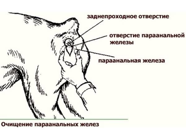 u-shenka-pokrasneniya-vokrug-analnogo-otverstiya
