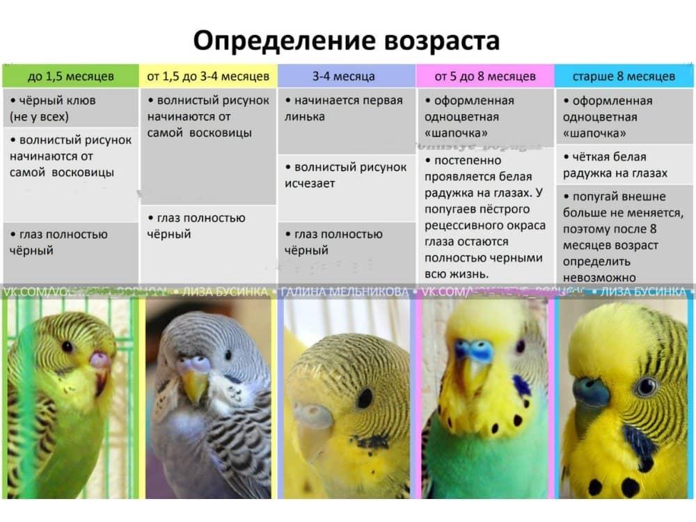 Беременна ли самка волнистого попугая
