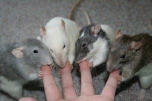 Миша коли мертва сниться