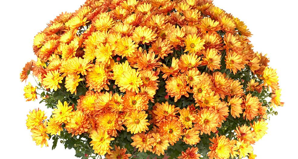 Хризантема мультифлора выращивание в домашних условиях 77